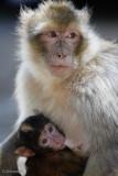 Macaca sylvanus & Son