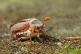Cockchafer (Melolontha melolontha)