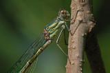 Willow Emerald Damselfly (Lestes viridis)