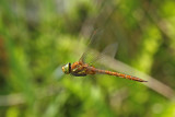 Norfolk Hawker (Aeshna isosceles)