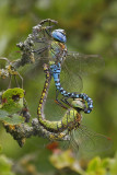 Southern Migrant Hawker (Aeshna affinis)