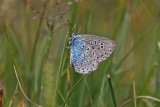 Large Blue (Maculinea arion)