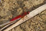 Scarlet Darter (Crocothemis erythraea)