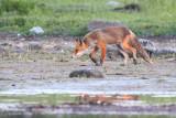 Red Fox / Rödräv