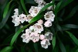 <i>Kalmia latifolia</i> Willowcrest