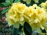 Azaleodendrons...