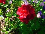 'Arneson Ruby'