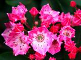 Kalmia latifolia 'Candy'