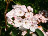 <i>Kalmia latifolia</i> Silver Dollar