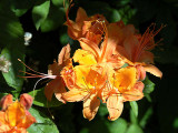 <i>calendulaceum</i> Hooper Pumpkin *
