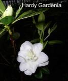 'Hardy Gardenia'...