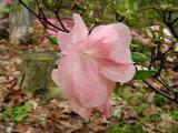 'Pink Gloria Tetra'