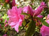 'Pink Ruffles'