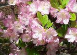 'Cattleya'