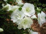 'White Rosebud'