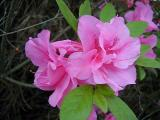 'Pink Pincushion'