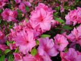 'Linwood Pink Giant'