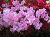 'Pink Cloud'