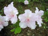 'Pink Petals' ?