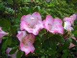 'Rose Brocade' ?