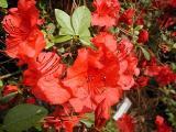 'Girard's Crimson'