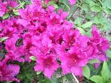 Girards Fuchsia