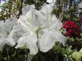 'Pleasant White'