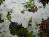 Pleasant White