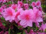 'Pink Fancy'