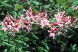 'Sommerville's Pink'