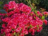 'Girard's Pink Dawn'