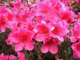 'Nuccio's Rose Glitters'