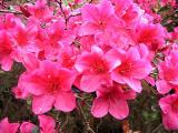 Nuccios Rose Glitters