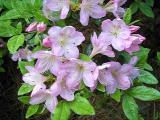 'Nuccio's Lilac Lady'