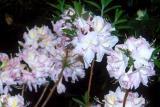 'Sylphides'