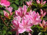 'Kermesinum Rose'