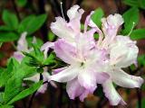 'Mrs K's Lilac'