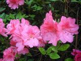 'Blaauw's Pink'
