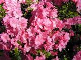 'Pink Jewel'