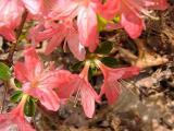 'Callista's Pink' *