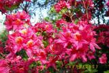 'Patsy's Pink'