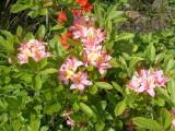 <i>arborescens</i> x <i>calendulaceum</i>
