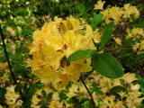 'Yellow Gold' *