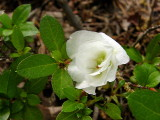 'White Rosebud' (witches broom)