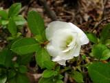 White Rosebud (witches broom)