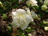 'Hardy Gardenia'