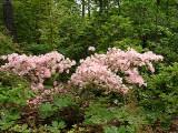 Pocono Pink