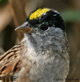 Birds Golden Crowned Sparrow