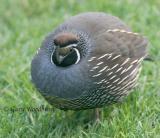 Birds  Quail