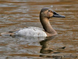 Birds Canvasback